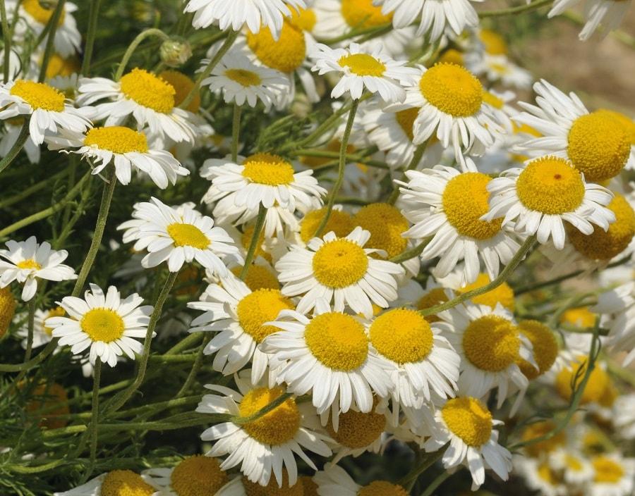Geliebte Römische Kamille Samen - Anthemis nobilis - Weltpflanzen #AD_27